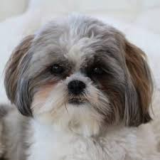 shih tzu gifts the doggy molly mall