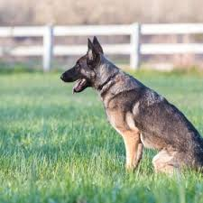 Best Invisible Fence For German Shepherd German Shepherd Dog Hq