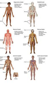 the human body anatomy physiology