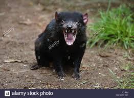 Diavolo della Tasmania Sarcophilus harrisii a Trowunna Wildlife Sanctuary  Tasmania, Australia Foto stock - Alamy