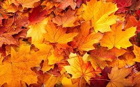 hd wallpaper orange maple leaves fall