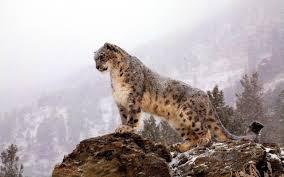 snow leopard wallpaper 72 images