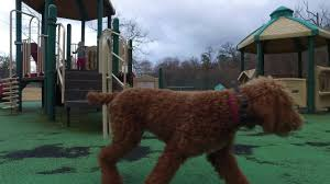 6 month old standard poodle gabby