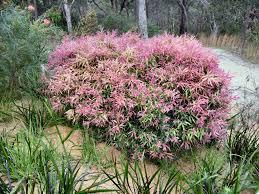 Australian Native Hedges Gardening With Angus