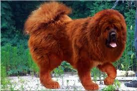 Mastiff tybetański - wszystko o rasie - PiesPoradnik.pl