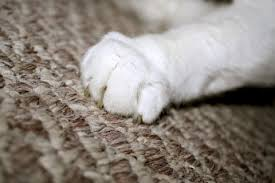 why do cats scratch carpet