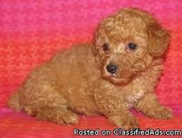 ckc toy poodle puppies 350 for