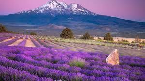 lavender hd wide wallpaper for laptop