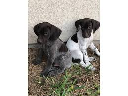 1 male 1 female german shorthaired