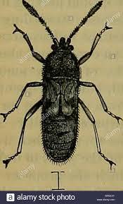 La American entomologo. Entomologia. 174 IL AMEEICAN ENTOMOLOGO ...