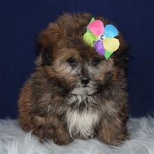 poodle mix puppies in pa