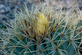 t skewers cactus desert plant