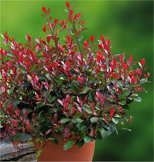 photinia little red robin compact
