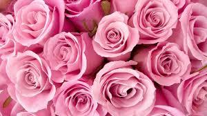 rose pink flower wallpaper hd 2020