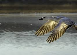 Snow goose in Flight Photograph by Byron West
