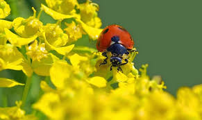 what do ladybugs eat all about