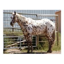 appaloosa horse gifts on zazzle