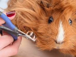 how to cut guinea pig nails the safest