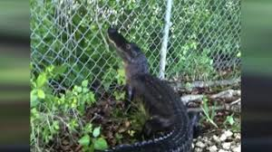 Problem Solving Alligator Learns How To Climb A Fence And Viewers Think We Re Doomed Daily Star