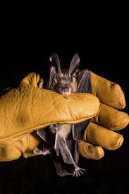 African Bat Conservation