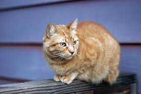 Orange Tabby Cat Fence Outdoor Animal Cute Pet Furry Wooden Domestic Kitten Pikist