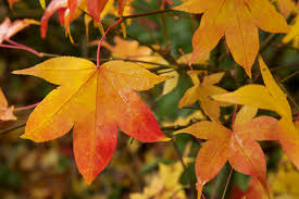Acer palmatum leaves in autumn | May be viewed in very large… | Flickr