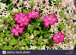 Climbing Plants High Resolution Stock Photography And Images Alamy