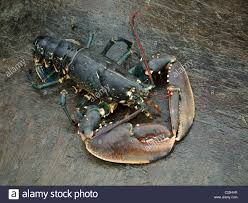 Stock Photos & Big Lobster Stock Images ...