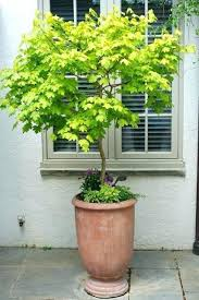 best small trees for pots in full sun
