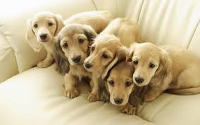 five tan dachshund puppies hd wallpaper