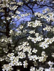 Dogwood Tree Posters Prints Paintings Wall Art For Sale Allposters Com