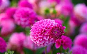 hd wallpaper pink dahlies beautiful
