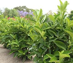 Quick Fence Viburnum Is A Tighter And More Upright Viburnum Hardy Exotic Range