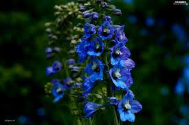 blue larkspur flowers wallpapers