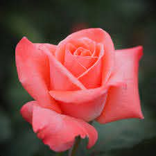 File:Rose, Sonia, バラ, ソニア, (21083037224).jpg - Wikimedia Commons