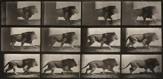 Eadweard Muybridge, Animal Locomotion: Plate 722 (Lion Walking). Image  courtesy of Beetles + Huxley. | Animaux, Lion, Mouvement