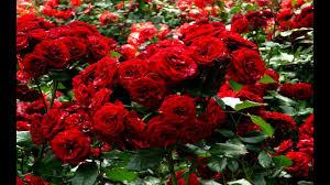 أسماء أشهر أنواع الزهور والورود بالعربية والإنجليزية والفرنسية Youtube