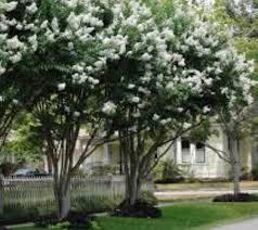 Natchez White Crape myrtle | New Life Nursery