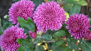 chrysanthemums pink color mums flowers