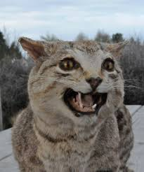Wild Cats Pose Threat To New Zealand Native Wildlife North Canterbury News