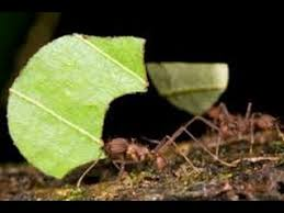 Download Leaf Cutter Ant Control  Images