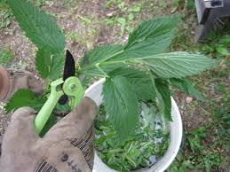 fertilizer tea from plants weeds and
