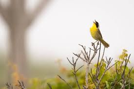 Common Yellowthroat bird print by Byron Griffin. Nantucket | Etsy
