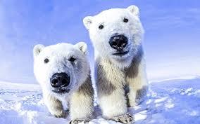 polar bear wallpapers hd desktop and