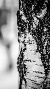 birch tree in winter wallpaper iphone