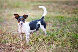 Rat Terrier—Full Profile, History, and ...