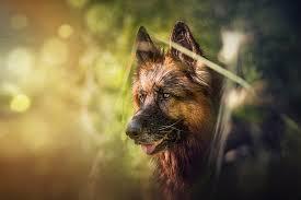 german shepherd face bokeh dog