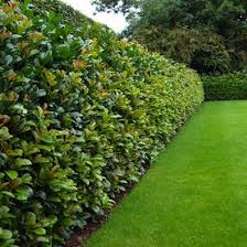 11 Living Fences That Look Better Than Chain Link Fence Landscaping Privacy Fence Landscaping Natural Fence