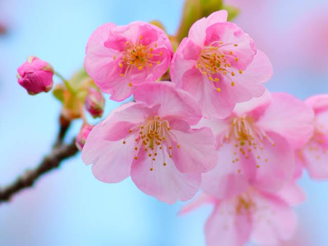 """「桜 無料写真」の画像検索結果"""""""