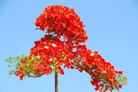 Phượng vĩ | Cây cảnh - Hoa cảnh - Bonsai - Hòn non bộ - Sân vườn ...